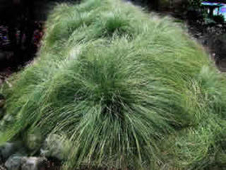 Carex comans 'Green'